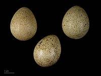 Œufs de perdrix rouge.  (définition réelle 4068×3072)